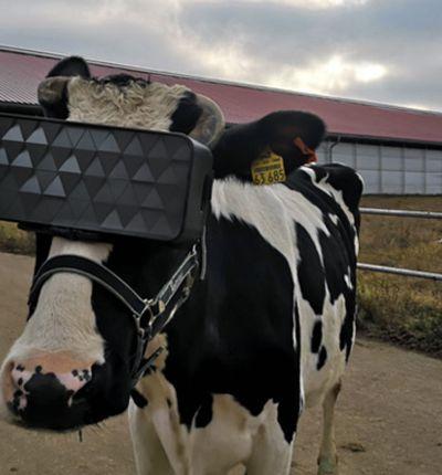 Une vache teste la VR.