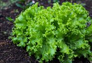 laitue salage legume agriculture