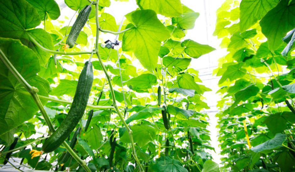 Microsoft remporte la compétition Greenhouse, qui vise à faire pousser le plus grand nombre de concombres en 4 mois grâce à l'IA
