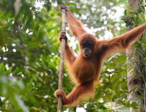 Un orang-outan dans la forêt de Bornéo en Indonésie.