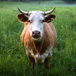 Une vache dans un champ