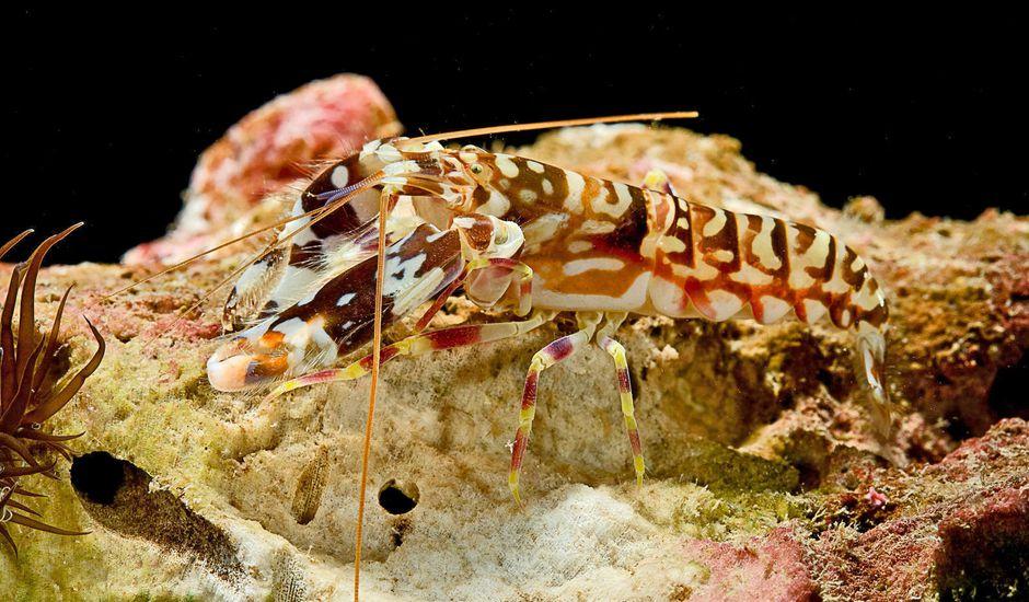 Un robot s'inspire des crevettes.