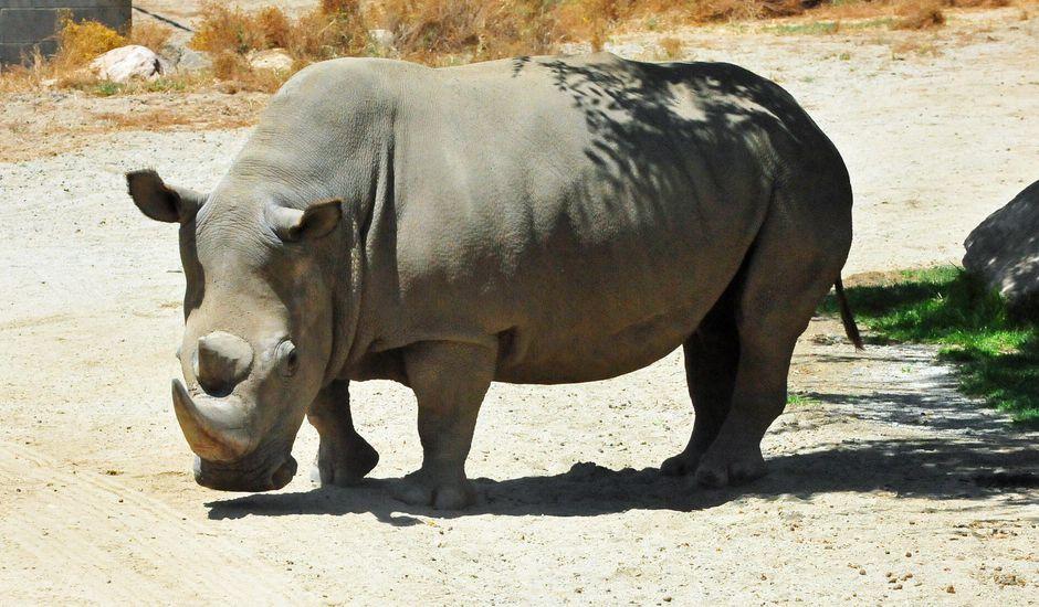 Un rhinocéros blanc du Nord.