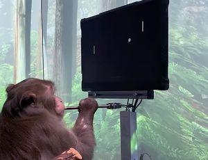 Un singe jouant au jeu Pong par la pensée grâce à un implant de Neuralink