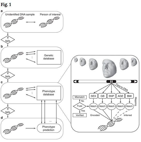 Schéma des ADN observés