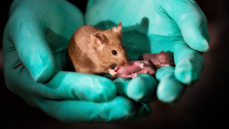 Photo bébés de souris du même sexe