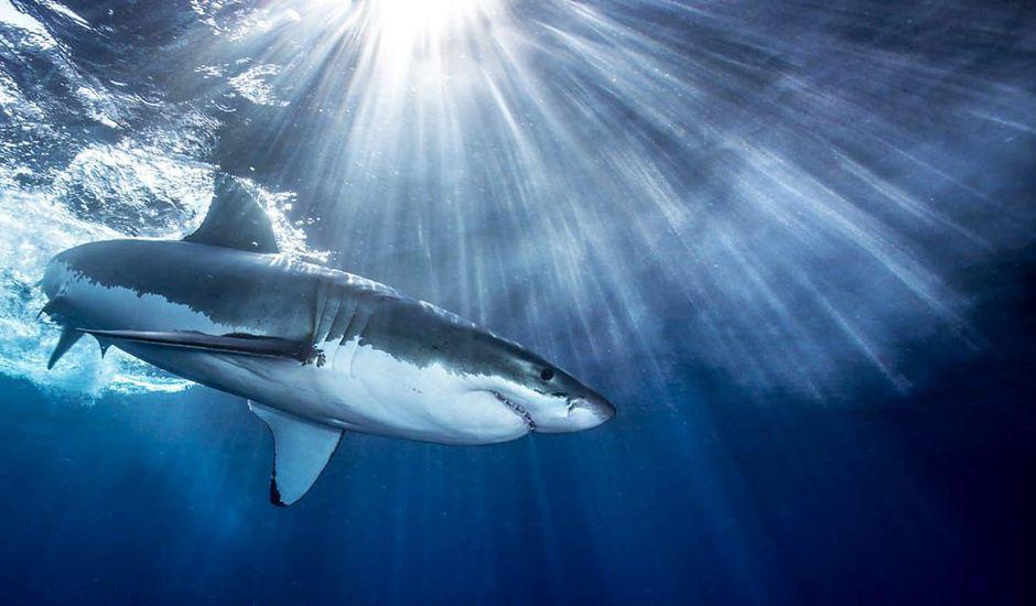requin sharkspotter