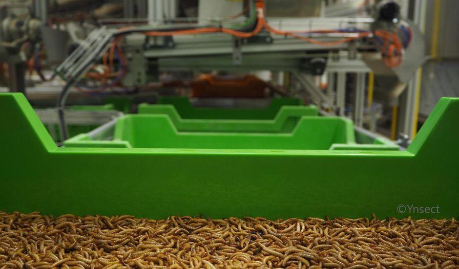 Des vers séchés dans un bac dans une usine de la société Ÿnsect