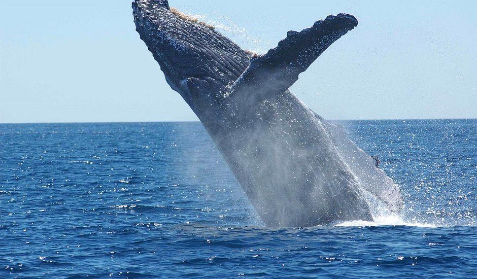Google a élaboré une IA qui capte et décrypte le chant des baleines